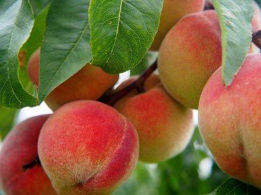 秋の季語は桃の実、毛桃、白桃、水蜜桃、天津桃など。花は春の季語!